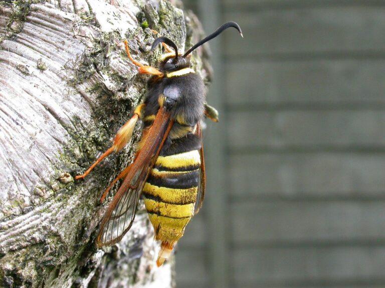 Mimikry-Beispiel bei Insekten, Fliege, die aussieht wie Wespe